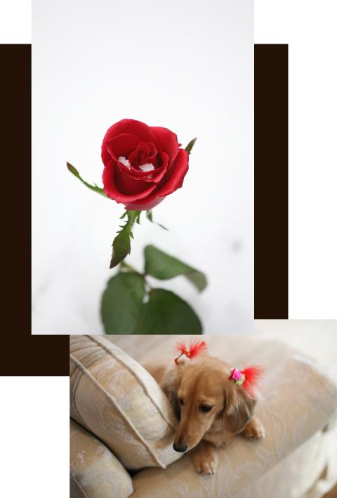 バラと犬の写真